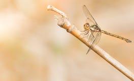 Släta Tan Dragonfly fotografering för bildbyråer