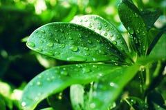 Släta tjocka gröna sidor för Scheffleraarboricola som täckas med regndroppar i solljuset royaltyfri foto