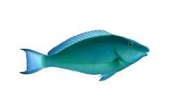 Släta unicornfish Arkivfoto