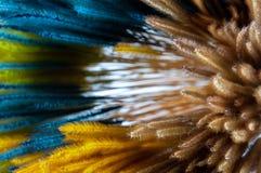 Slätt och färgrikt som färgas av den torra Pennisetumgräsblomman royaltyfri foto