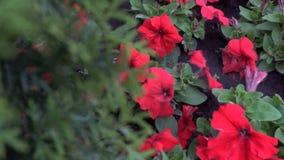 Slätt vändande fokus från träd till rabatt med röda blommor arkivfilmer