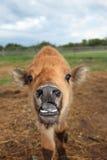 Slättar/Wood Bison Cross Calf Arkivfoton