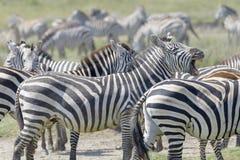 Slätts flehming för sebra (Equusquagga) Arkivfoto