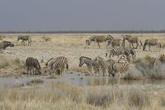 Slättsebra på att bevattna hålet, Etosha nationalpark, Namibia Arkivbild