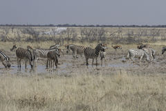 Slättsebra på att bevattna hålet, Etosha nationalpark, Namibia Royaltyfri Bild