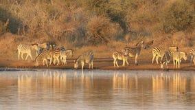 Slättsebradricksvatten - Kruger nationalpark