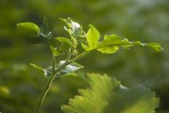 Slå ut av aubergineträdet Arkivbild