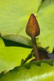 slå ut lotusblomma royaltyfri bild