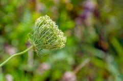 Slå ut och blomma den lösa moroten från slut royaltyfri fotografi
