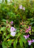 Slå ut och blomma Himalayan balsam Arkivbilder
