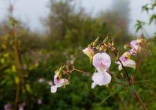 Slå ut och blomma Himalayan balsam Arkivfoton