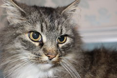 Slående katt Royaltyfri Foto