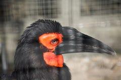 Slående röd färgad jordHornbill med härliga ögonfrans Royaltyfria Bilder