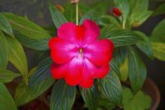 Slående stora karmosinröda blommasidor Royaltyfri Bild