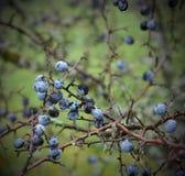 Slånbär på ett träd i månad av Novemver Prunusspinosaen, Schlehe täckte med is arkivfoto