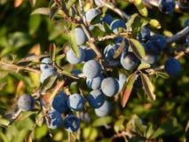 Slånbär på slånPrunusspinosa Den taggiga busken i rosfamiljrosaceaen med klungan av mogna lilor bär frukt i Autum Arkivbilder