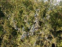 Slånbär på slånPrunusspinosa Den taggiga busken i rosfamiljrosaceaen med klungan av mogna lilor bär frukt i Autum Royaltyfri Fotografi