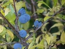 Slånbär på slånPrunusspinosa Den taggiga busken i rosfamiljrosaceaen med klungan av mogna lilor bär frukt i Autum Arkivbild