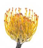slår ut den exotiska blomman Royaltyfri Bild