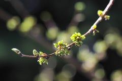 Slår ut europeiska laevis för en Ulmus för vit alm början för att blomma Fotografering för Bildbyråer