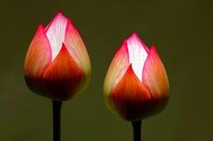 slår ut lotusblomma Arkivbild