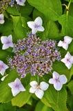 slår ut vanlig hortensia Arkivfoto