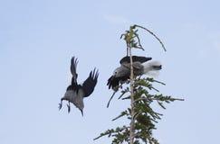Slåss är fåglar nötknäppare för Clark ` s i krater sjömedborgare P fotografering för bildbyråer
