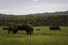 Slåss bisonen Fotografering för Bildbyråer