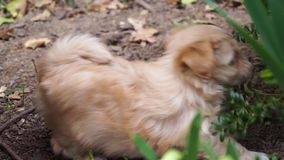 Slåss bitting gräs för den Havanese valpen och på en buske, när en annan valp plötsligt anfaller och båda puppys lager videofilmer