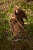 Slåss björnar Fotografering för Bildbyråer