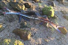 Slåss den blåa krabban Royaltyfri Fotografi