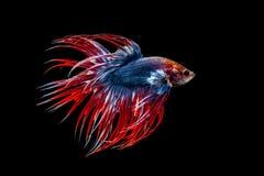 Slåss den thai fisken Arkivfoton