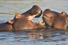 Slåss den unga flodhästen, flodhästamphibiusen, Okavango, Botswana Arkivbilder
