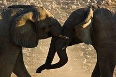 slåss för 2 elefanter Fotografering för Bildbyråer