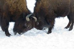slåss för bisons Royaltyfria Bilder