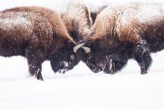 Slåss för Bisons Fotografering för Bildbyråer