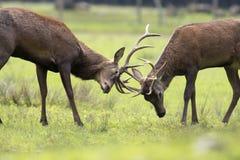 slåss för deers Royaltyfria Bilder