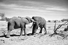 Slåss för elefanter fotografering för bildbyråer