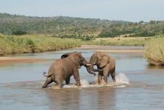 slåss för elefanter Royaltyfri Fotografi