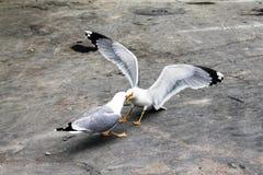 slåss för fåglar Royaltyfria Foton