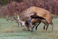 Slåss för fullvuxna hankronhjortar för röda hjortar Arkivbild
