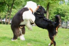 slåss för hundar royaltyfri foto