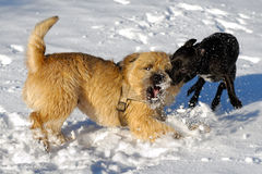 slåss för hundar royaltyfria foton