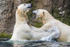 Slåss för isbjörnar fotografering för bildbyråer