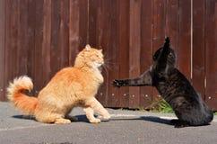 Slåss för katter Fotografering för Bildbyråer