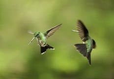 Slåss för kolibrier Arkivfoto