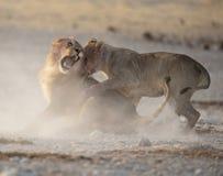 Slåss för lejon arkivbild