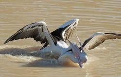 Slåss för pelikan royaltyfri bild
