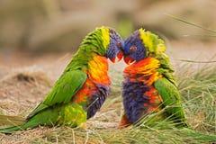 Slåss för regnbågelorikeets (Trichoglossushaematodus) Arkivfoton