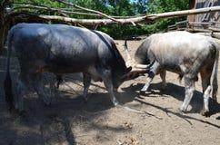 slåss för tjurar royaltyfri bild